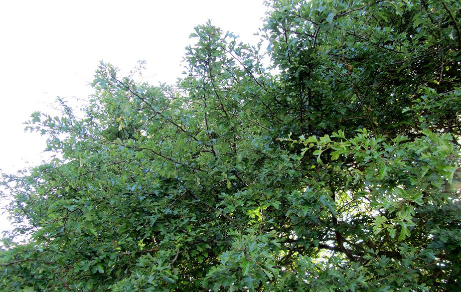 Acorn trees