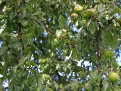 crab_apples_1