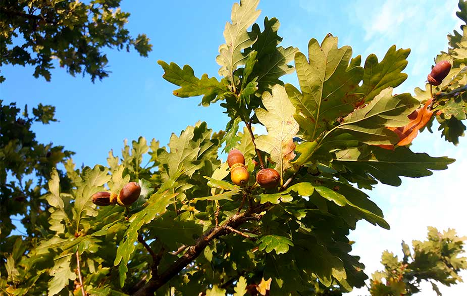 Oaks hanging on the tree (Quercus sp)