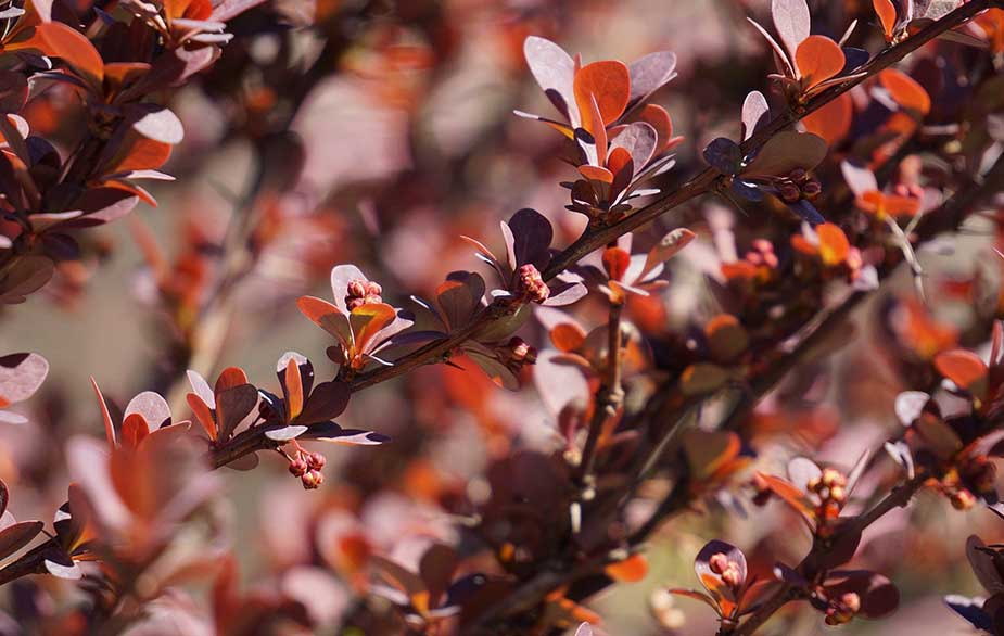 Barberry leaves (Berberis sp.)