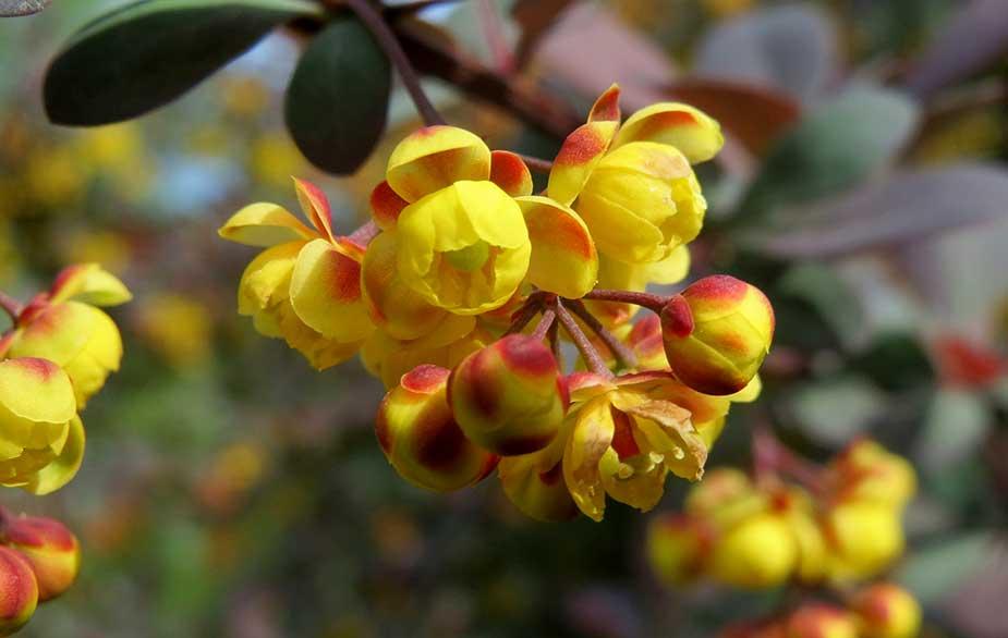 Barberry in flower (Berberis sp.)