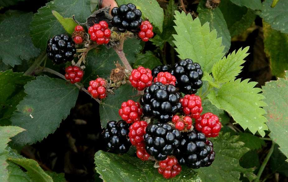 Blackberries in bramble bush (Rubus fruticosus)