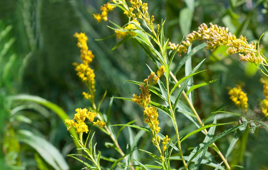 Goldenrod in flower (Solidago canadensis)