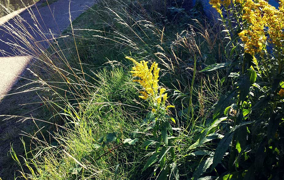 Goldenrod in urban area (Solidago canadensis)