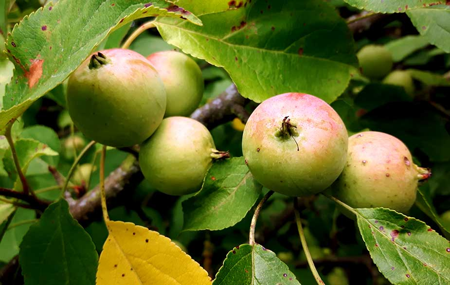 Crabapples growing from tree (Malus sylvestris)