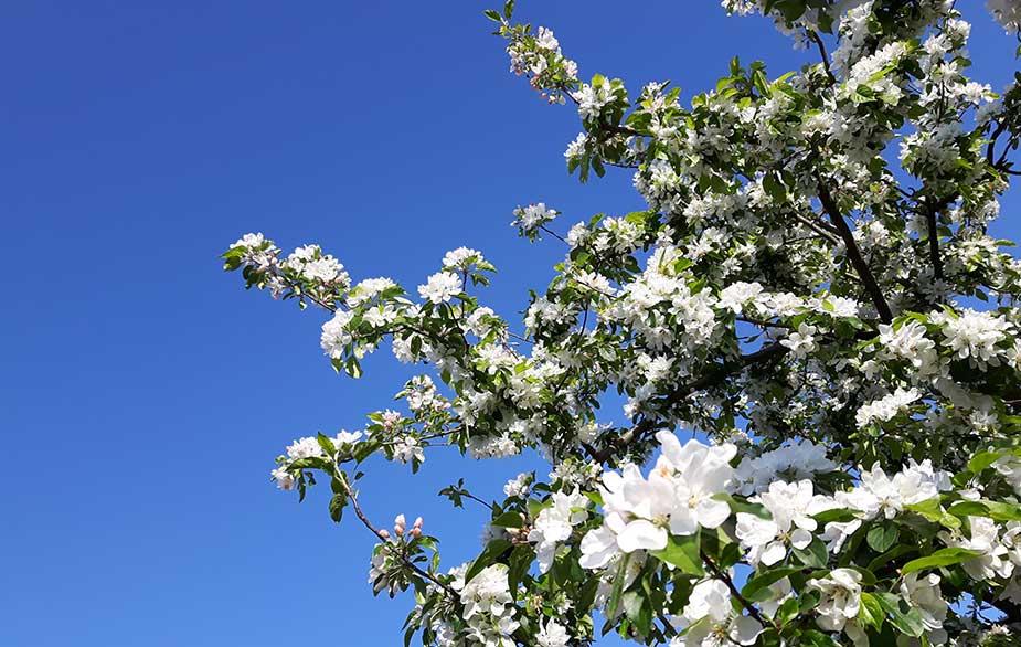 Crabapple in bloom (Malus sylvestris)