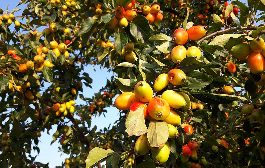 Crabapples hanging from tree (Malus sylvestris)