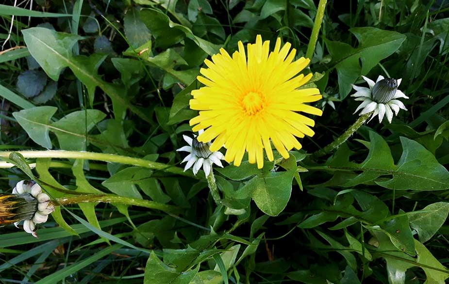 Dandelion flower (Taraxacum officinale)