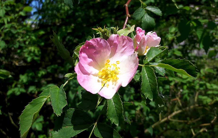Rose in flower (Rosa canina)