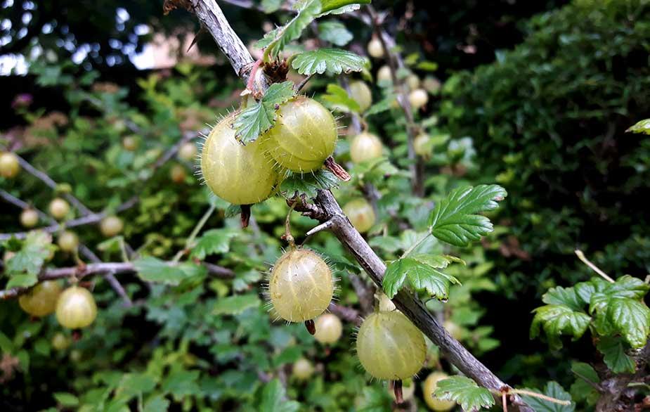 Fruiting gooseberry bush (Ribes uva-crispa)