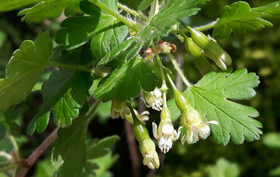 Gooseberry bush in flower (Ribes uva-crispa)