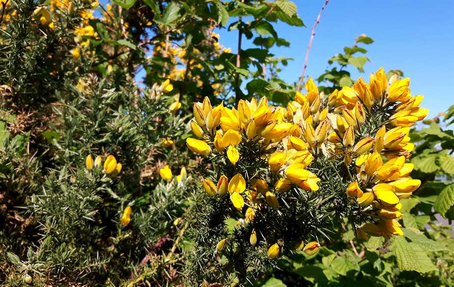 Gorse in bloom (Ulex europaeus)