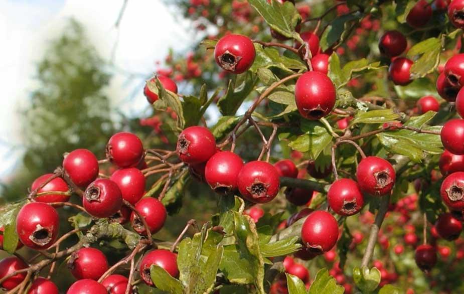 Hawthorn berries on tree (Crataegus monogyna)