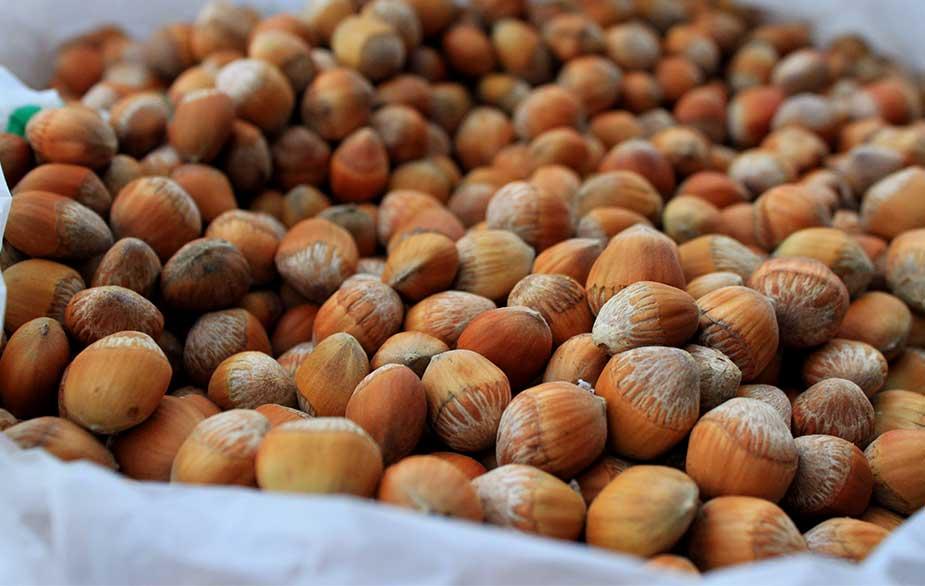 Hazelnut harvest (Corylus sp)