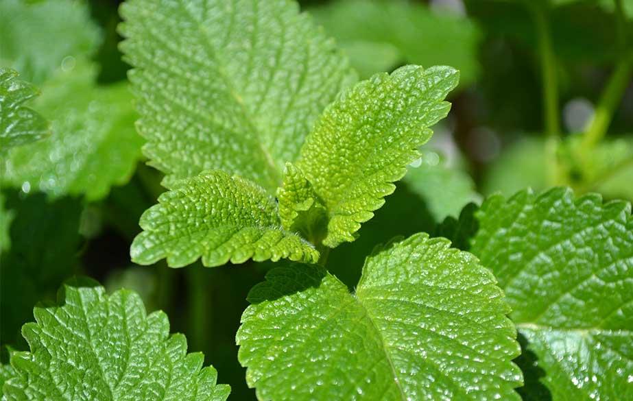 Lemon balm leaves (Melissa officinalis)