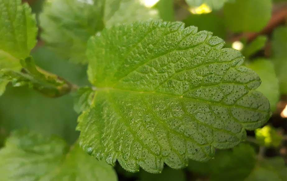 Lemon balm leaf (Melissa officinalis)