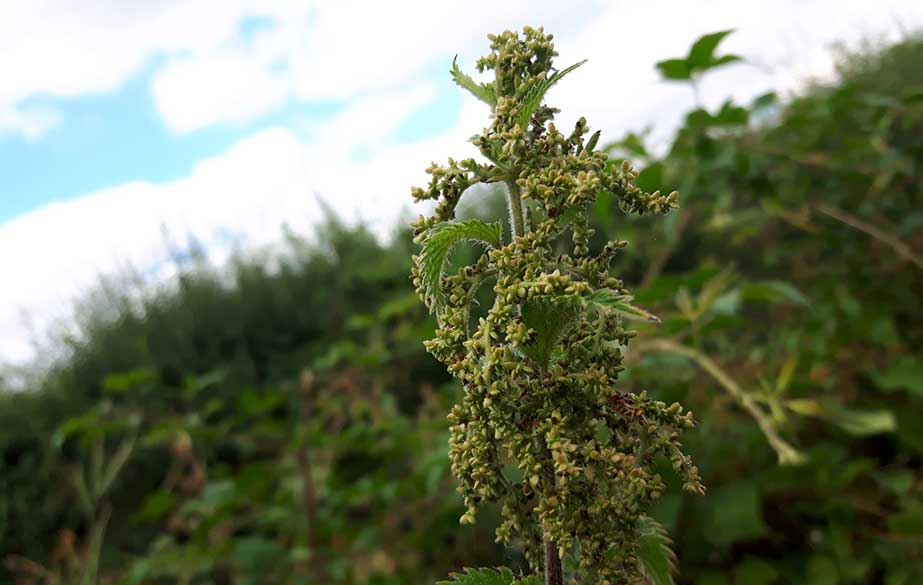 Nettle seeds haging from the plant (Urtica dioica)