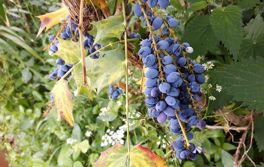Oregon grape berries (Mahonia aquifolium)