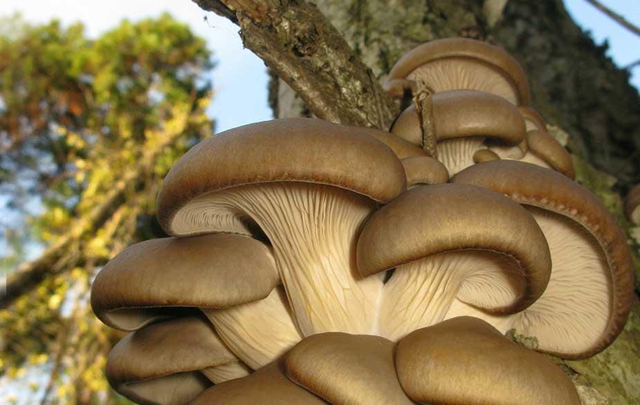 Oyster mushroom growing on wood (Pleurotus ostreatus)