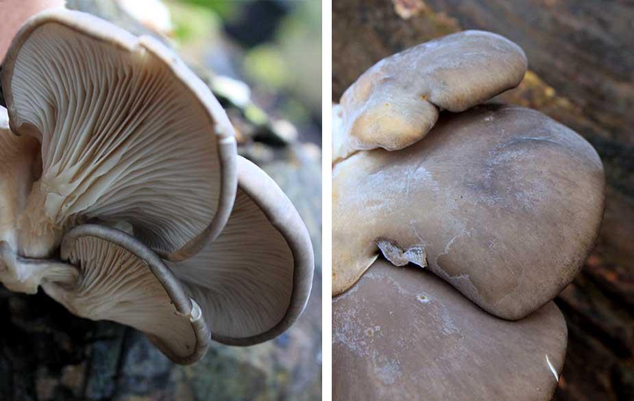 Oyster mushroom in detail (Pleurotus ostreatus)