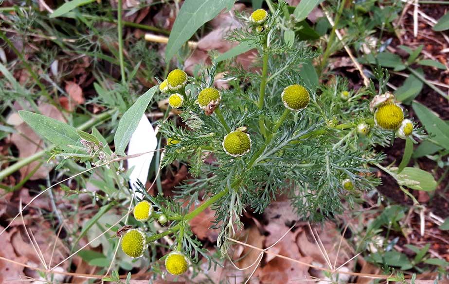 Pineappleweed weed in flower (Matricaria discoidea)