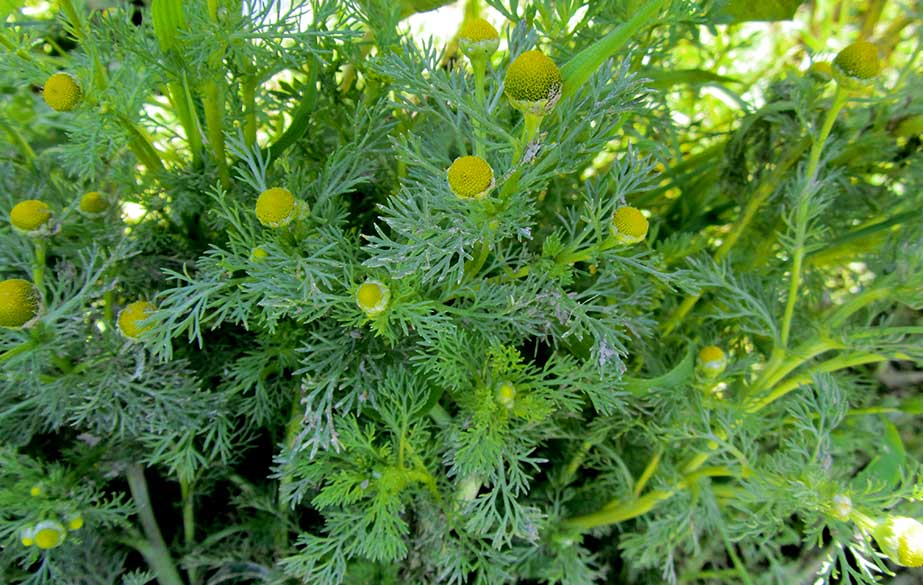 Pineappleweed