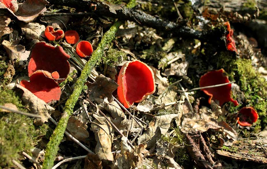 Scarlet Elfcup (Sarcoscypha coccinea)