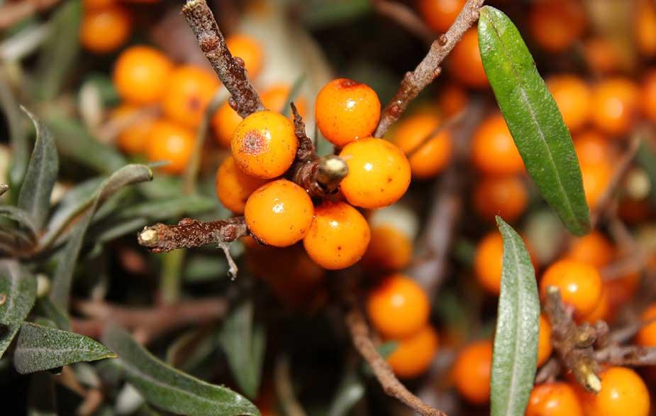 Sea buckthorn berries (Hippophae rhamnoides)