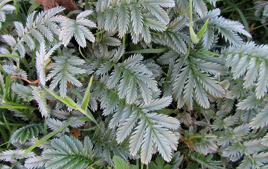 Silverweed leaves (Potentilla anserina)