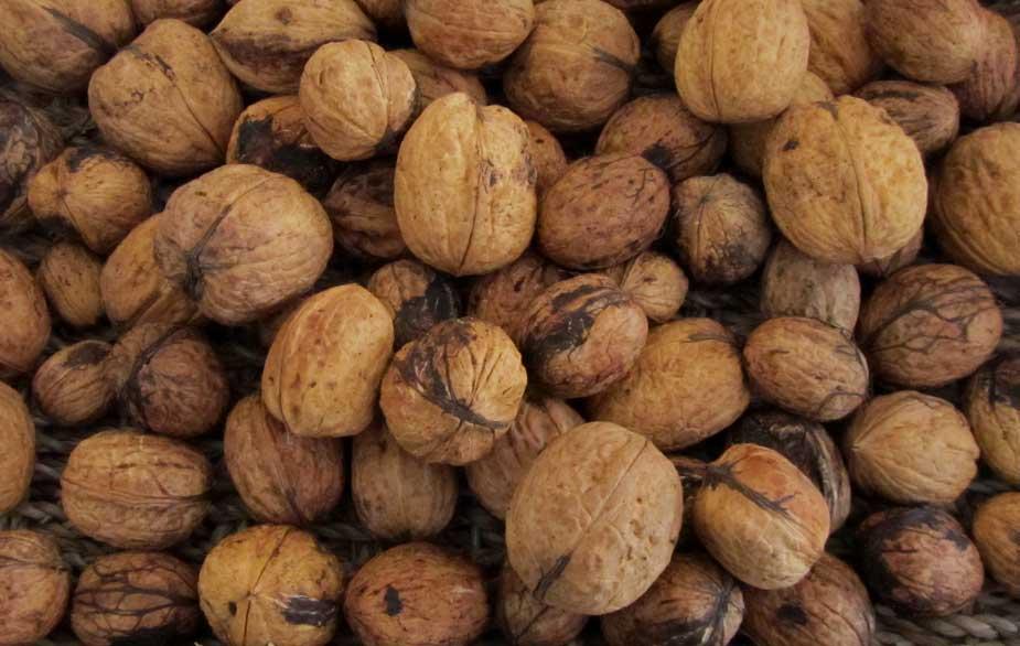 Walnut foraging (Juglans regia)