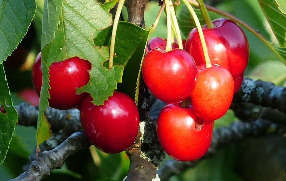 Cherry fruit hanging from the tree (Prunus avium)