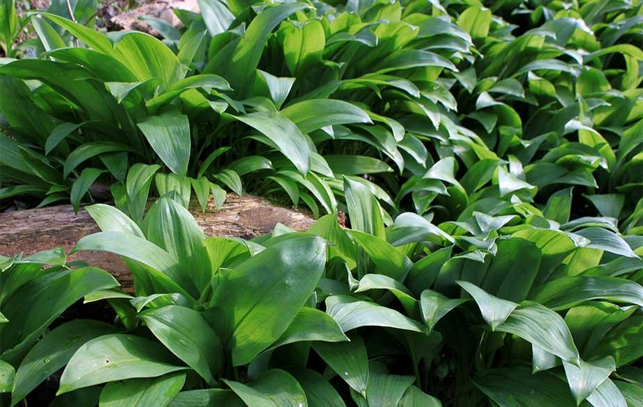 Wild garlic leaves (Allium ursinum)