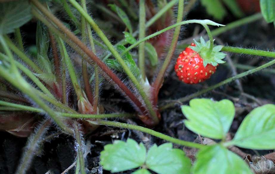 Wild strawberries (Fragaria vesca)