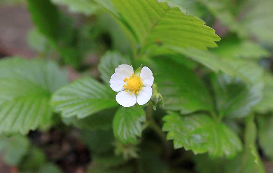 Wild strawberry in flower (Fragaria vesca)
