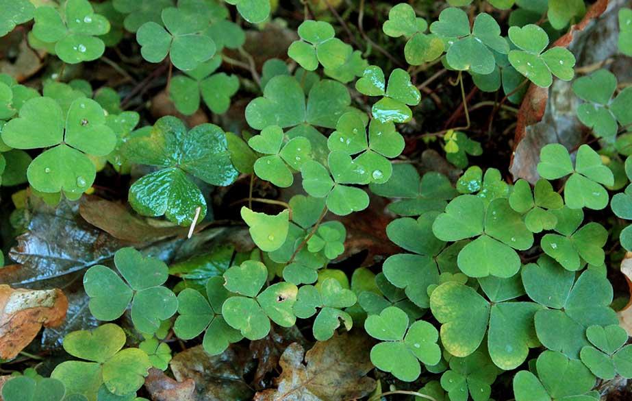 Wood sorrel leaves (Oxalis acetosella)